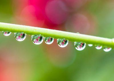 Jatropha Rain Drops